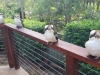 Kookaburras-Social-Distancing